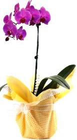 Konya çiçek gönderme sitemiz güvenlidir  Tek dal mor orkide saksı çiçeği