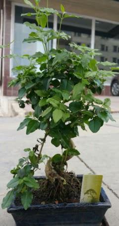 Bonsai japon ağacı saksı bitkisi  Konya çiçek satışı