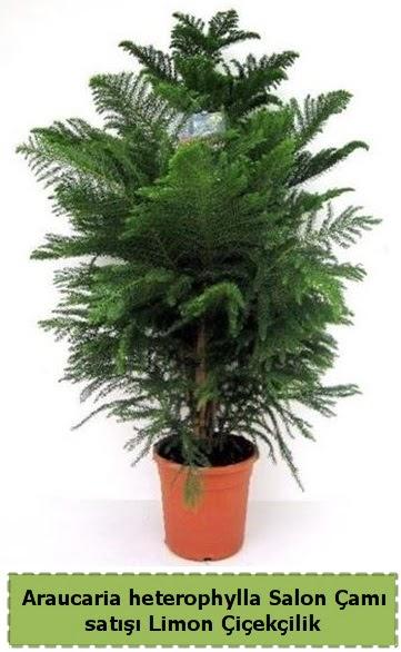 Salon Çamı Satışı Araucaria heterophylla  Konya güvenli kaliteli hızlı çiçek