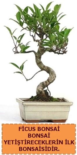 Ficus bonsai 15 ile 25 cm arasındadır  Konya çiçek servisi , çiçekçi adresleri