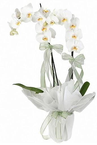 Çift Dallı Beyaz Orkide  Konya internetten çiçek satışı