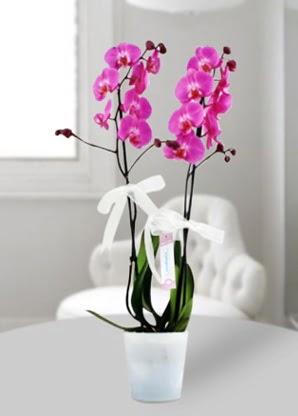Çift dallı mor orkide  Konya çiçek gönderme
