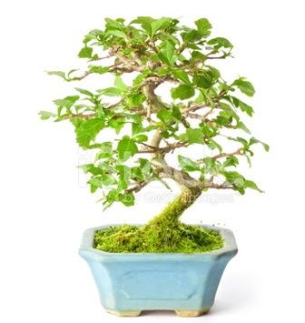 S zerkova bonsai kısa süreliğine  Konya hediye sevgilime hediye çiçek