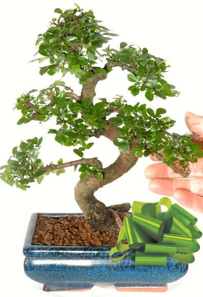 Yaklaşık 25 cm boyutlarında S bonsai  Konya çiçek gönderme sitemiz güvenlidir