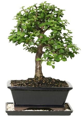 15 cm civarı Zerkova bonsai bitkisi  Konya çiçek gönderme sitemiz güvenlidir