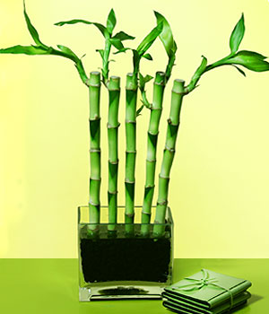 Konya internetten çiçek satışı  Good Harmony Lucky Bamboo camda