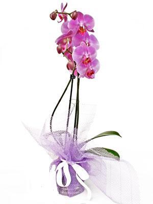 Konya internetten çiçek satışı  Kaliteli ithal saksida orkide