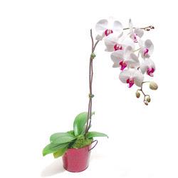 Konya çiçek mağazası , çiçekçi adresleri  Saksida orkide