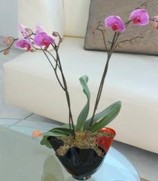 Konya İnternetten çiçek siparişi  tek dal ikili orkide saksi çiçegi