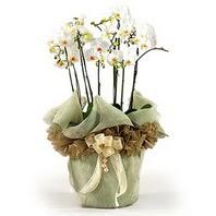 Konya çiçek gönderme sitemiz güvenlidir  3 dal orkide , saksi çiçegi , 3 kök orkide