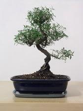 ithal bonsai saksi çiçegi  Konya çiçek satışı