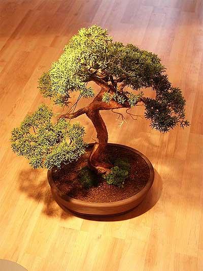 ithal bonsai saksi çiçegi  Konya online çiçek gönderme sipariş