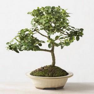 ithal bonsai saksi çiçegi  Konya internetten çiçek siparişi