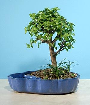 ithal bonsai saksi çiçegi  Konya çiçek gönderme