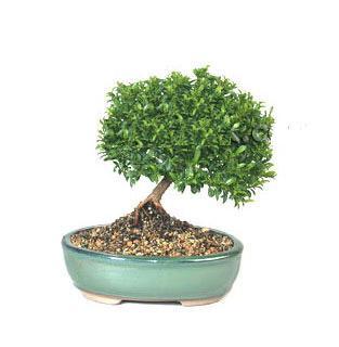 ithal bonsai saksi çiçegi  Konya hediye çiçek yolla