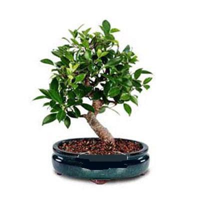 ithal bonsai saksi çiçegi  Konya çiçek gönderme sitemiz güvenlidir