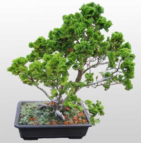 ithal bonsai saksi çiçegi  Konya hediye sevgilime hediye çiçek