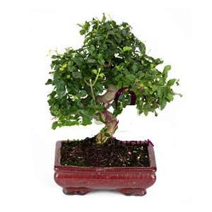 ithal bonsai saksi çiçegi  Konya internetten çiçek satışı