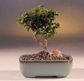 Konya çiçek servisi , çiçekçi adresleri  ithal bonsai saksi çiçegi  Konya çiçek yolla