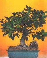 Konya kaliteli taze ve ucuz çiçekler  ithal bonsai saksi çiçegi  Konya çiçekçi telefonları