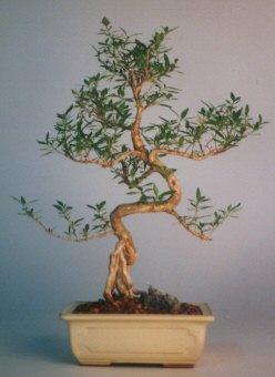 Konya güvenli kaliteli hızlı çiçek  ithal bonsai saksi çiçegi  Konya çiçek satışı