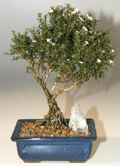 Konya yurtiçi ve yurtdışı çiçek siparişi  ithal bonsai saksi çiçegi  Konya çiçek , çiçekçi , çiçekçilik
