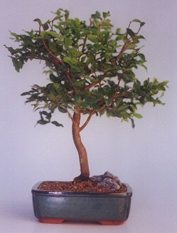 Konya online çiçekçi , çiçek siparişi  ithal bonsai saksi çiçegi  Konya internetten çiçek satışı