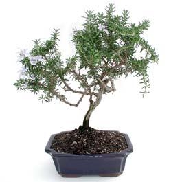 ithal bonsai saksi çiçegi  Konya kaliteli taze ve ucuz çiçekler