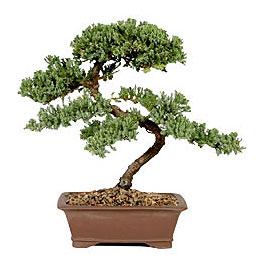 ithal bonsai saksi çiçegi  Konya çiçek online çiçek siparişi