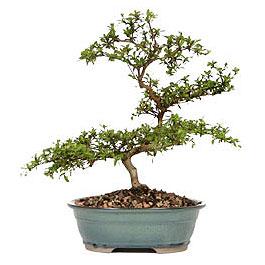 Konya hediye sevgilime hediye çiçek  ithal bonsai saksi çiçegi  Konya çiçek online çiçek siparişi