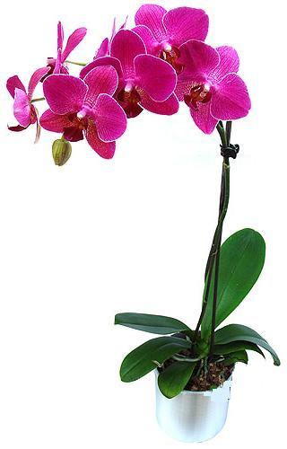 Konya İnternetten çiçek siparişi  saksi orkide çiçegi
