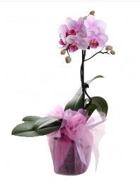 1 dal pembe orkide saksı çiçeği  Konya cicek , cicekci