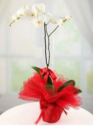 1 dal beyaz orkide saksı çiçeği  Konya uluslararası çiçek gönderme