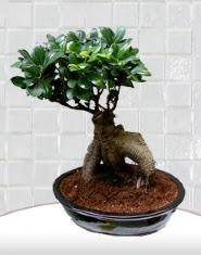 saksı çiçeği japon ağacı bonsai  Konya cicek , cicekci