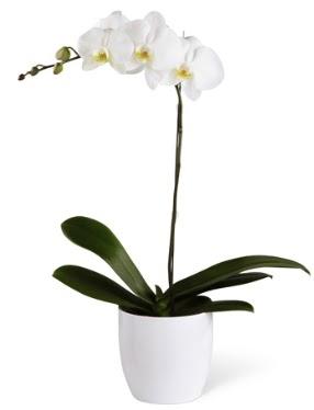 1 dallı beyaz orkide  Konya çiçek siparişi sitesi