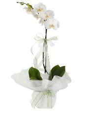 1 dal beyaz orkide çiçeği  Konya çiçek satışı