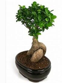 Bonsai saksı bitkisi japon ağacı  Konya çiçek gönderme sitemiz güvenlidir