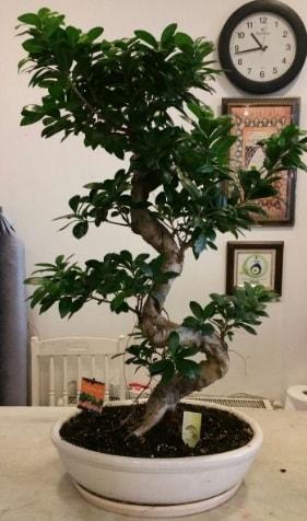 100 cm yüksekliğinde dev bonsai japon ağacı  Konya hediye sevgilime hediye çiçek