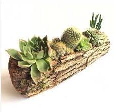 Gerçek uzun kütük içerisinde 7 adet kaktüs  Konya çiçek gönderme sitemiz güvenlidir