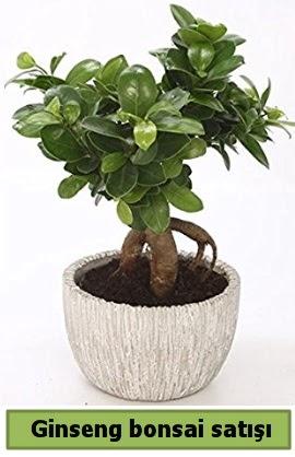 Ginseng bonsai japon ağacı satışı  Konya kaliteli taze ve ucuz çiçekler