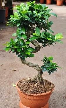 Orta boy bonsai saksı bitkisi  Konya çiçekçi telefonları