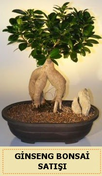 İthal Ginseng bonsai satışı japon ağacı  Konya çiçek gönderme sitemiz güvenlidir