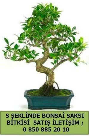 İthal S şeklinde dal eğriliği bonsai satışı  Konya çiçek mağazası , çiçekçi adresleri