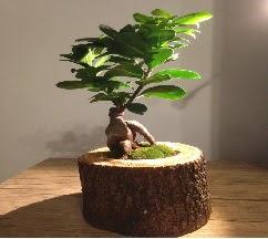Doğal kütükte Bonsai japon ağacı satışı  Konya çiçek yolla