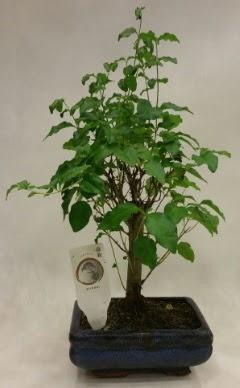 Minyatür bonsai japon ağacı satışı  Konya kaliteli taze ve ucuz çiçekler