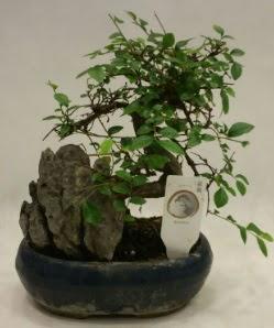 İthal 1.ci kalite bonsai japon ağacı  Konya güvenli kaliteli hızlı çiçek