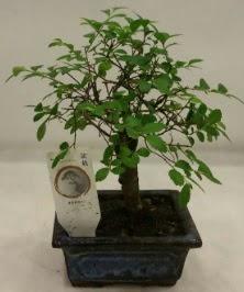 Minyatür ithal japon ağacı bonsai bitkisi  Konya güvenli kaliteli hızlı çiçek