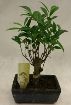 Japon ağacı bonsai bitkisi satışı  Konya kaliteli taze ve ucuz çiçekler