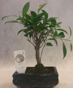 Bonsai japon ağacı bitkisi satışı  Konya çiçek online çiçek siparişi