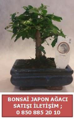 Japon ağacı minyaür bonsai satışı  Konya güvenli kaliteli hızlı çiçek